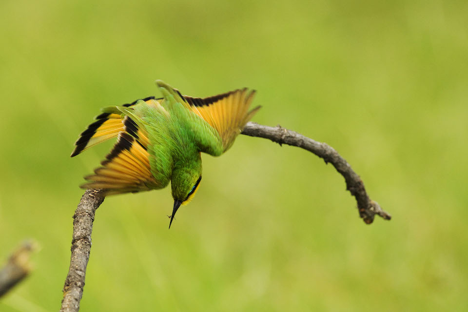 mobile-safari-botswana-BeeeaterLittleMoremi