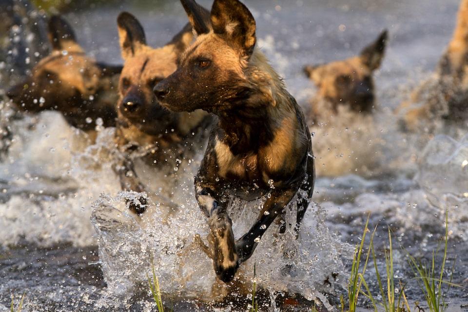 okavango-delta-mobile-safari-wilddog-elela-africa