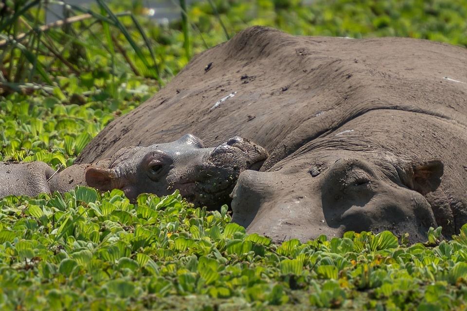 tabelle-Kruger-swasiland-elela-africa-hippos-reiseidee