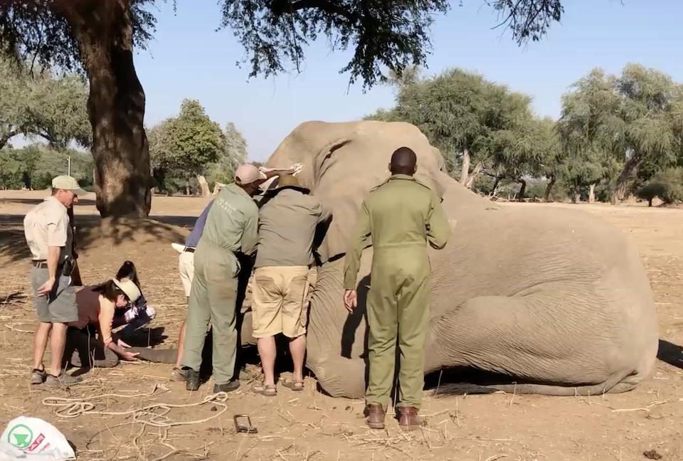 elela-africa-collaring-elefant-simbabwe